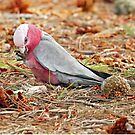 Galah - Queenscliff  VIC (541) by Emmy Silvius