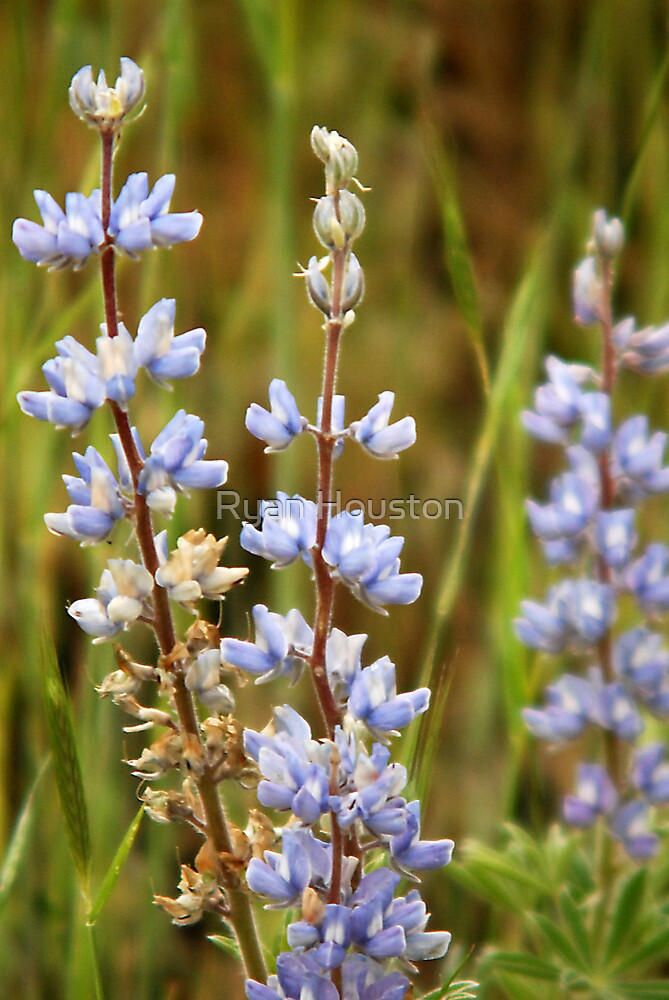 Lodgepole Lupine Flower  by Ryan Houston