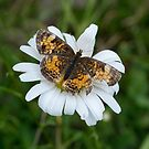 Butterfly on Daisy by Martha Medford