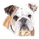 English Bulldog by lpodraw