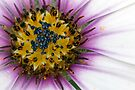 Close up of an African Daisy flower by Sara Sadler