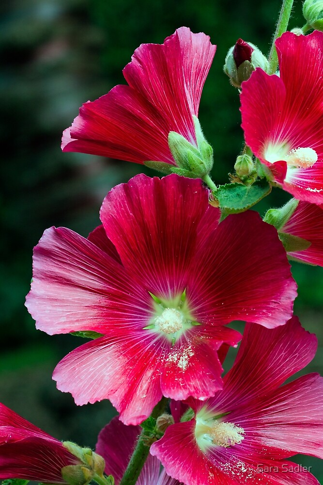 Deep red Hollyhock flowers by Sara Sadler