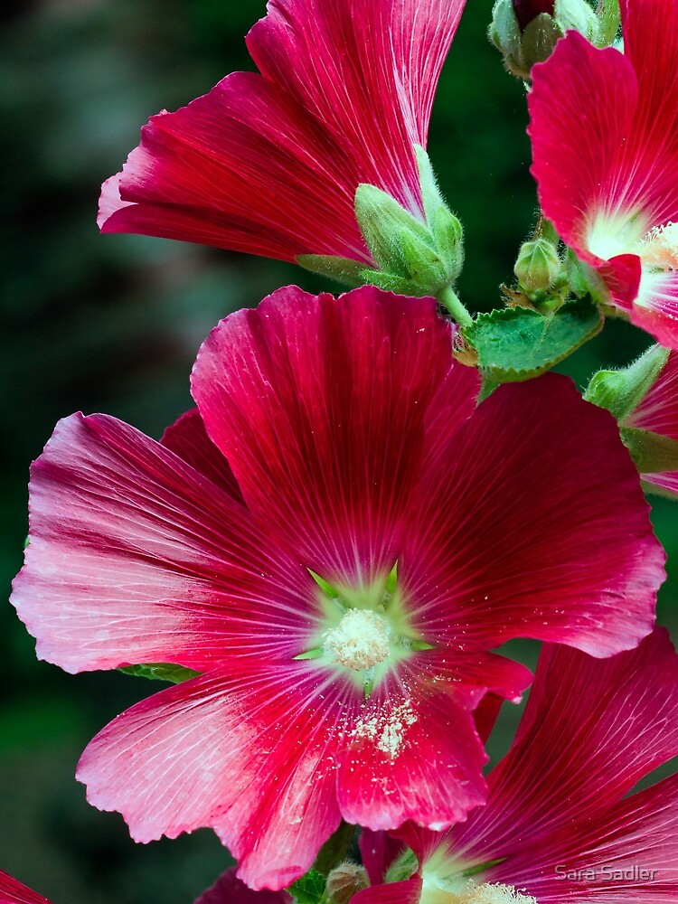 Deep red Hollyhock flowers by sadler2121