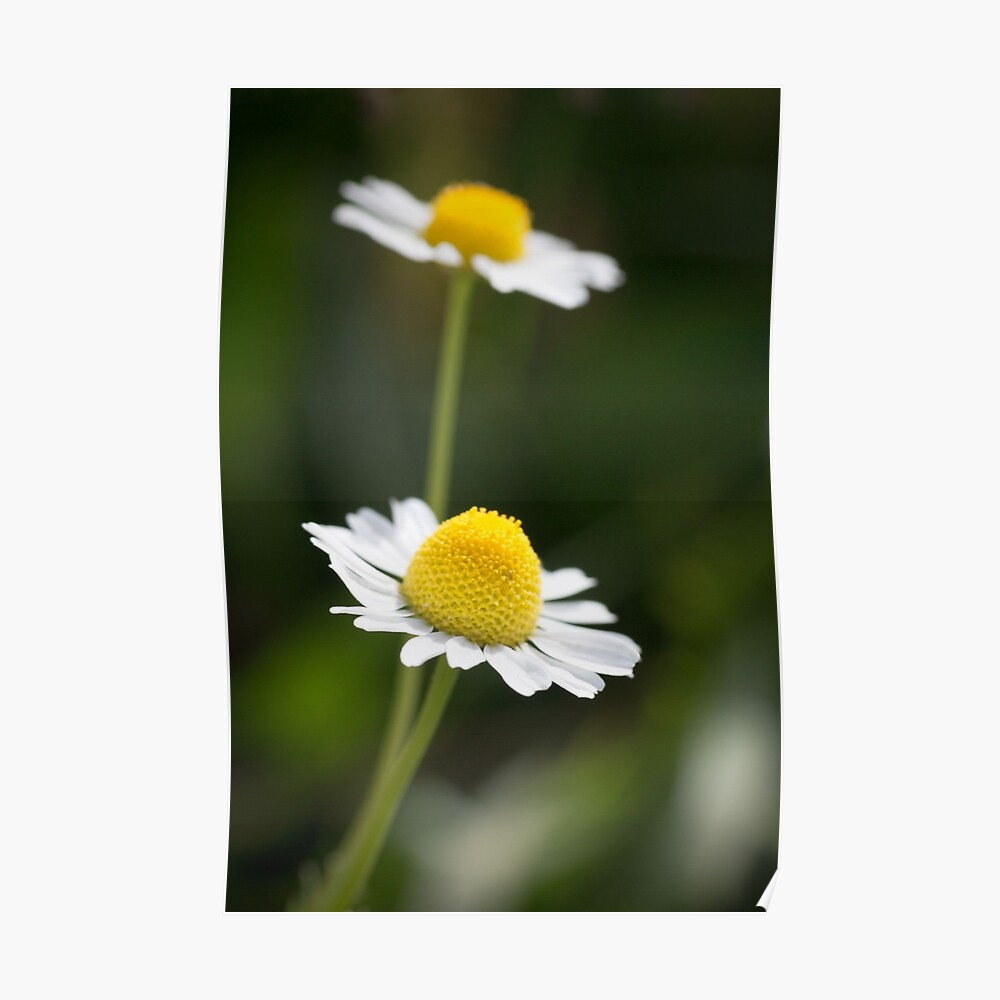 A Pair of daisy flowers Poster