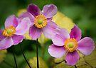 "Anemone ""Little Princess"" flower by Sara Sadler"