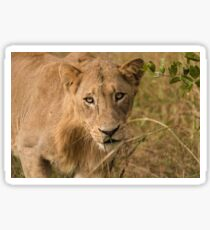 Portrait of a Lion Sticker