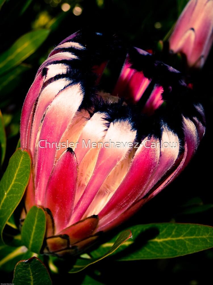 Protea Neriifolia by Chrysler Menchavez-Carlow