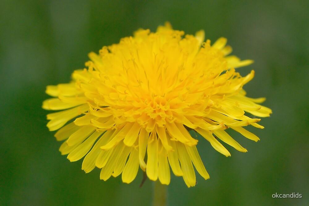 Dandelion by okcandids