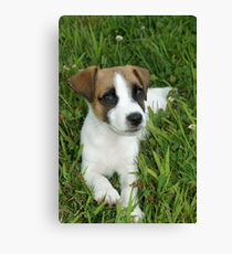 Jack Russell Terrier Puppy Canvas Print