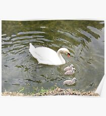 Swan and babies Poster
