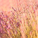 Provence lavender by Nicola  Pearson
