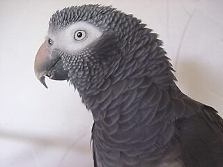 Profile of an African Grey by GreyFeather