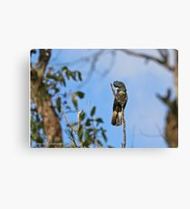 Red-tailed Black Cockatoo - Casterton VIC  (3009) Canvas Print