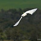 Sulphur-crested Cockatoo  (8213) by Emmy Silvius