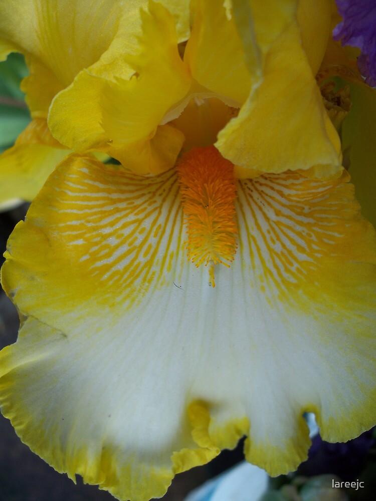 Yellow Iris by lareejc