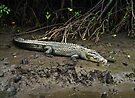 Crocodile - Chinaman Creek - Cairns by Paul Gilbert