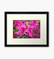 Pink azalea flower photography.  Framed Print