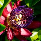 Vivid Purple Passion Flower by DARRIN ALDRIDGE