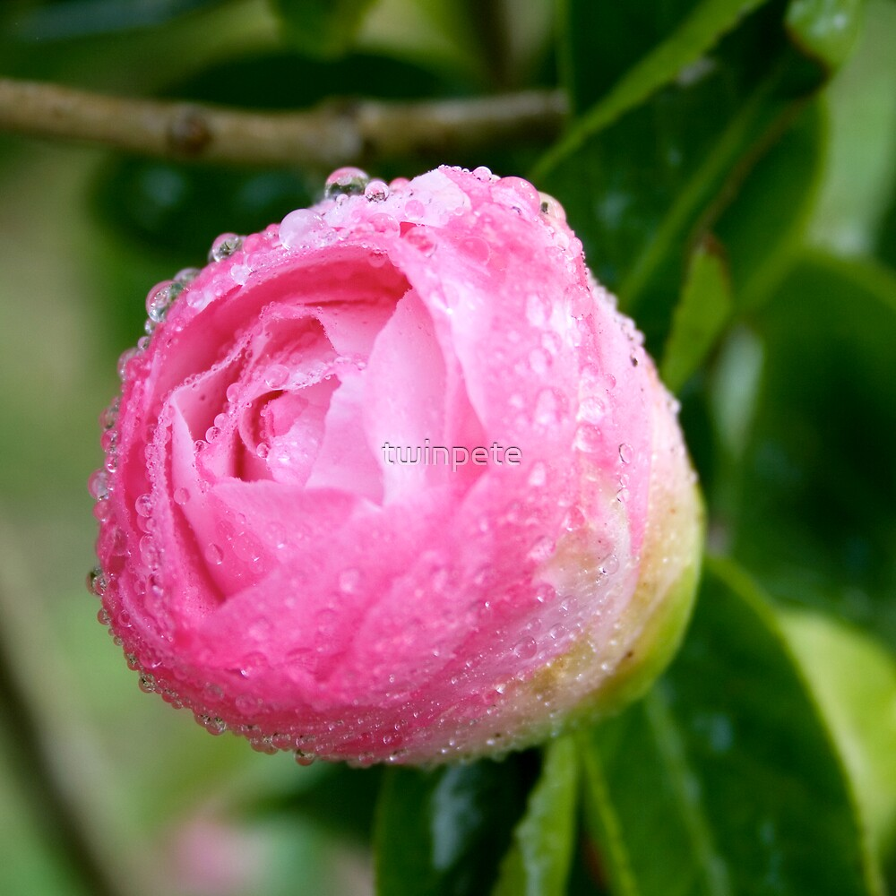 camellia sasanqua bud_2 by twinpete