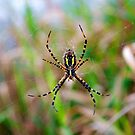 Spider on a Web by lindsycarranza