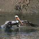 Brown Pelican Hunting In the Shallows by DARRIN ALDRIDGE