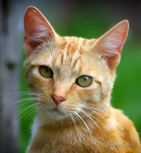 Ginger Cat II by Clare Colins