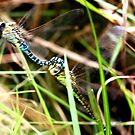 Record shot of Aeshna affinis ovipositing pair by DragonflyHunter