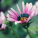 Gazania and Bud by Astrid Ewing Photography