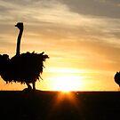 Ostridge Silhouette. by Chris Coetzee