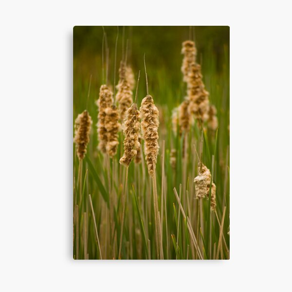 Rushes and Reeds Canvas Print