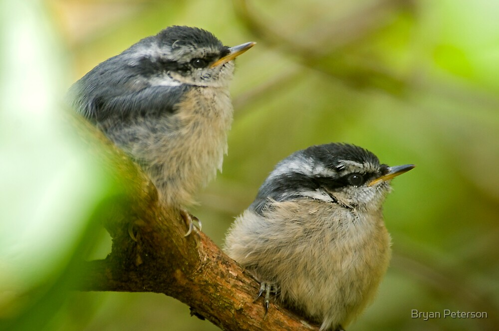 Fledgling Red-brested Nuthatchs by Bryan Peterson