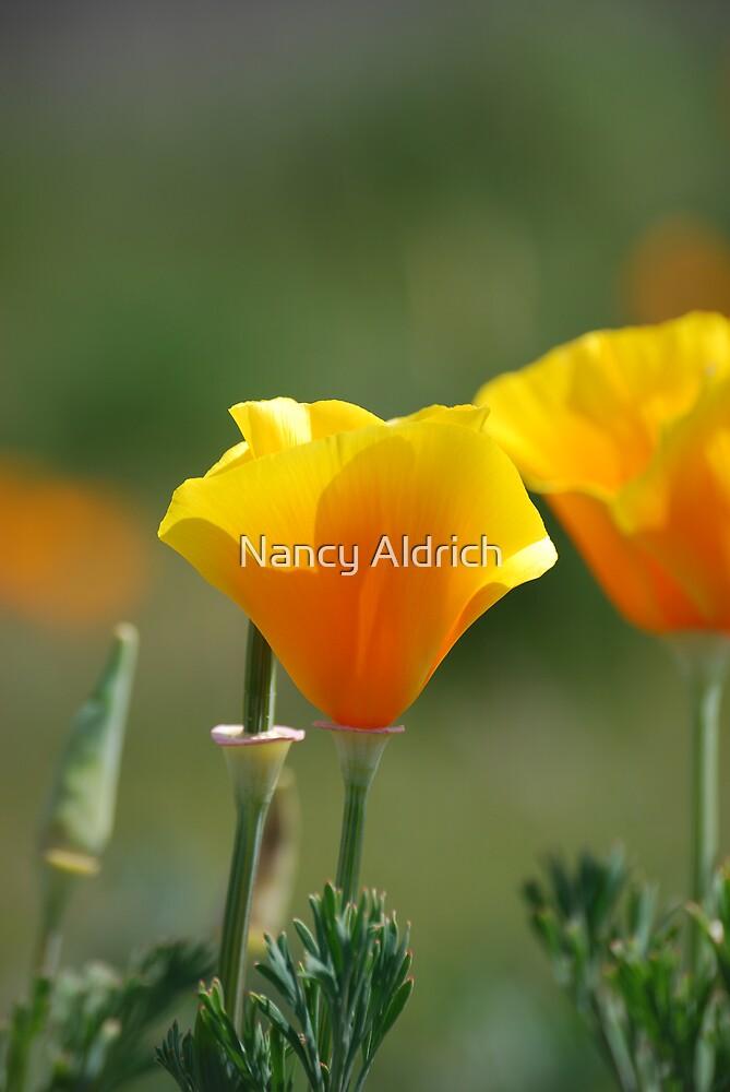 California Poppy by Nancy Aldrich