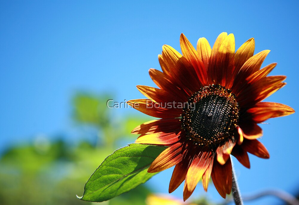 Sunflower by Carine  Boustany