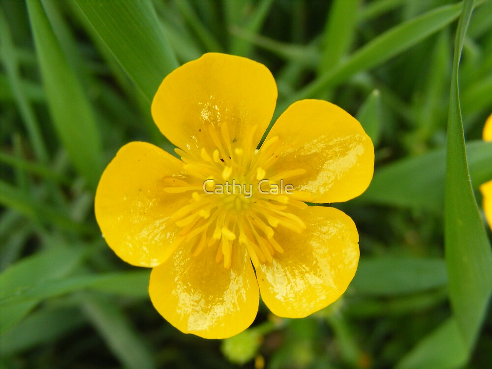 BUTTERCUP by Cathy Cale
