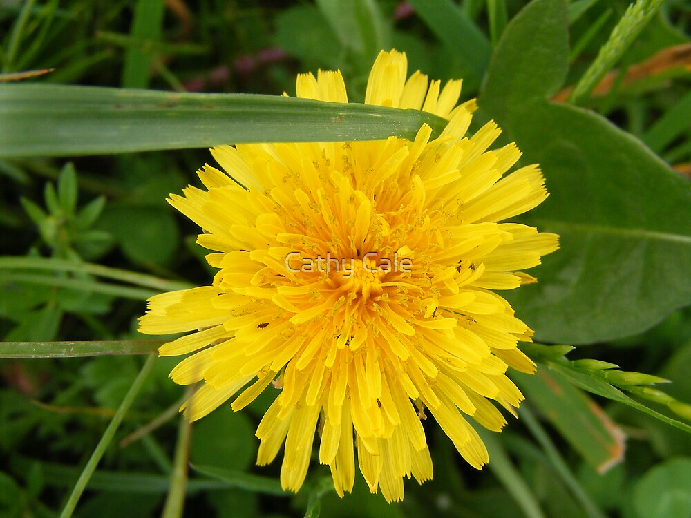 DANDELION by Cathy Cale