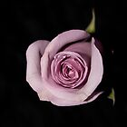 Lavender Rose by Jessica Jones