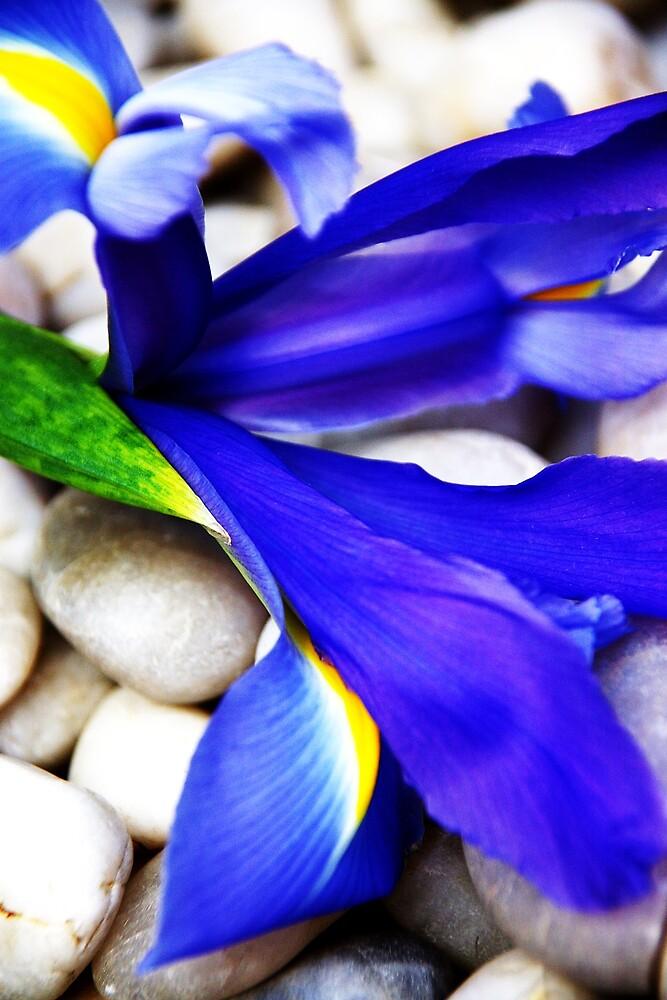Iris by Deidre Cripwell
