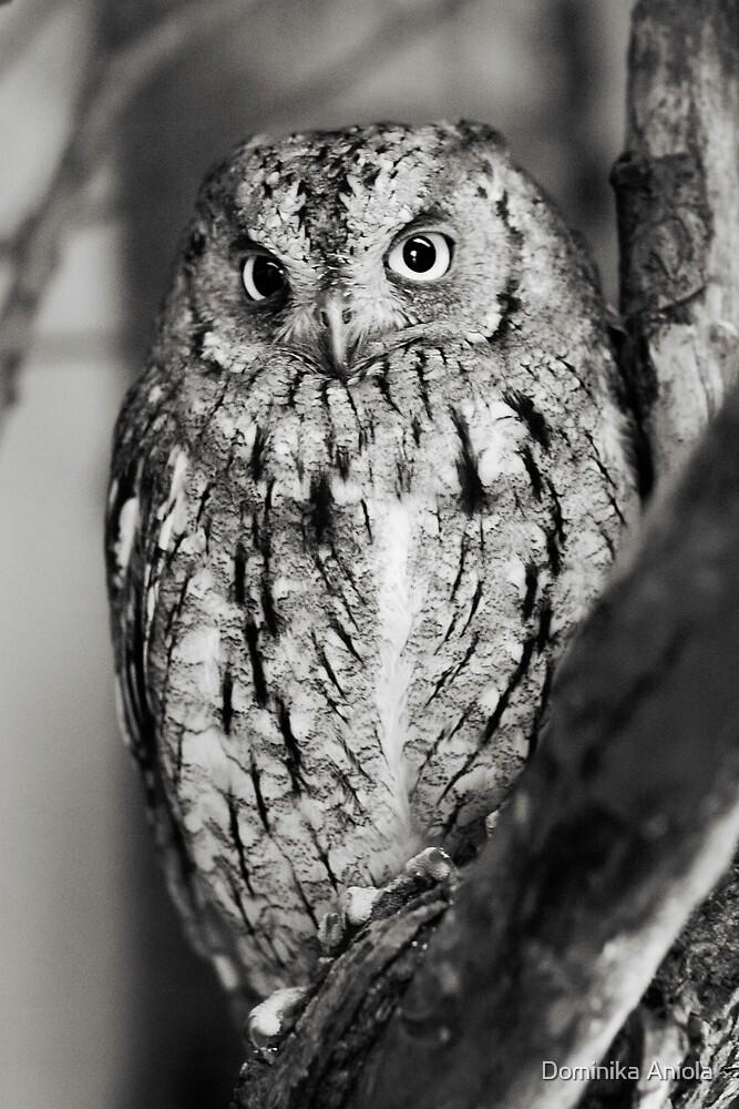 Little Owl by Dominika Aniola