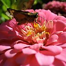 Skipper on a Bed of Pink Petals by lindsycarranza
