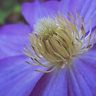 Lovely Clematis by lindsycarranza