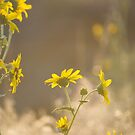Yellow Flowers in the Sunlight by lindsycarranza