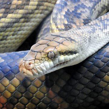 Amethystine Python by kirstybush