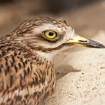 Stone-Curlew by domcia