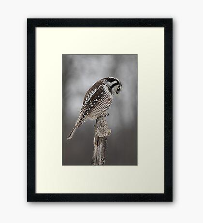 Northern Hawk Owl checks his claws Framed Print
