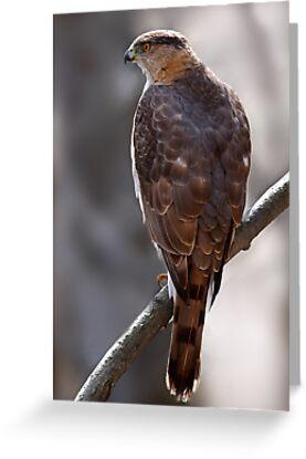 Cooper's Hawk profile by Jim Cumming
