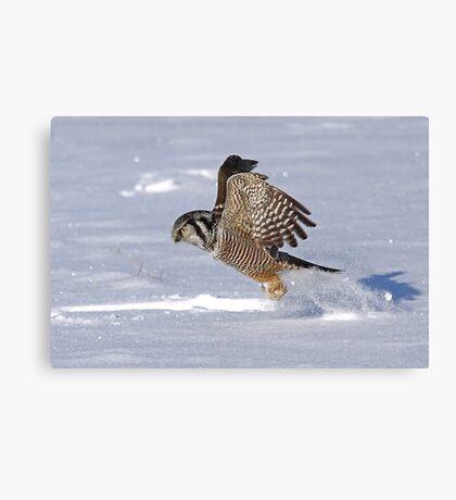 Northern Hawk-Owl Canvas Print