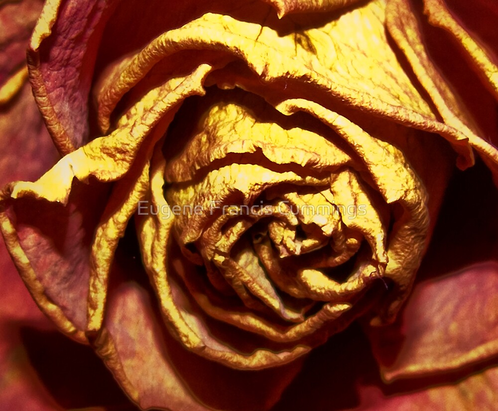 A rose flower. by Eugene Francis Cummings