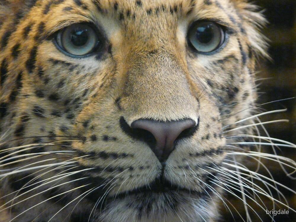 leopard in Jardin des Plantes in Paris  by brigdale