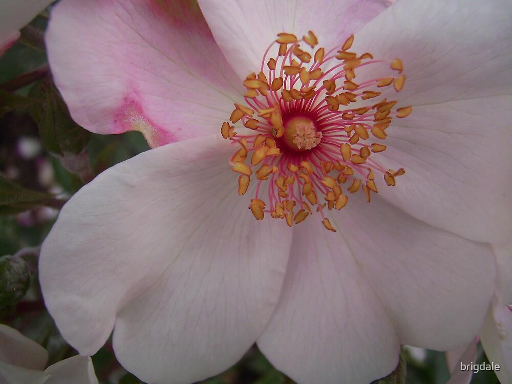 rose centre by brigdale