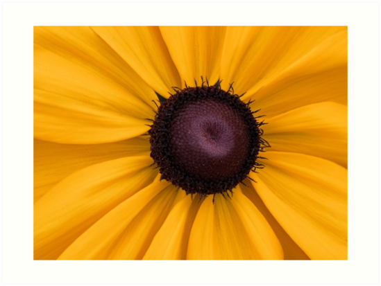 Black Eyed Susan by jenndes